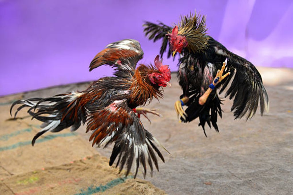 Cockfighting is still considered a popular sport in Haiti.