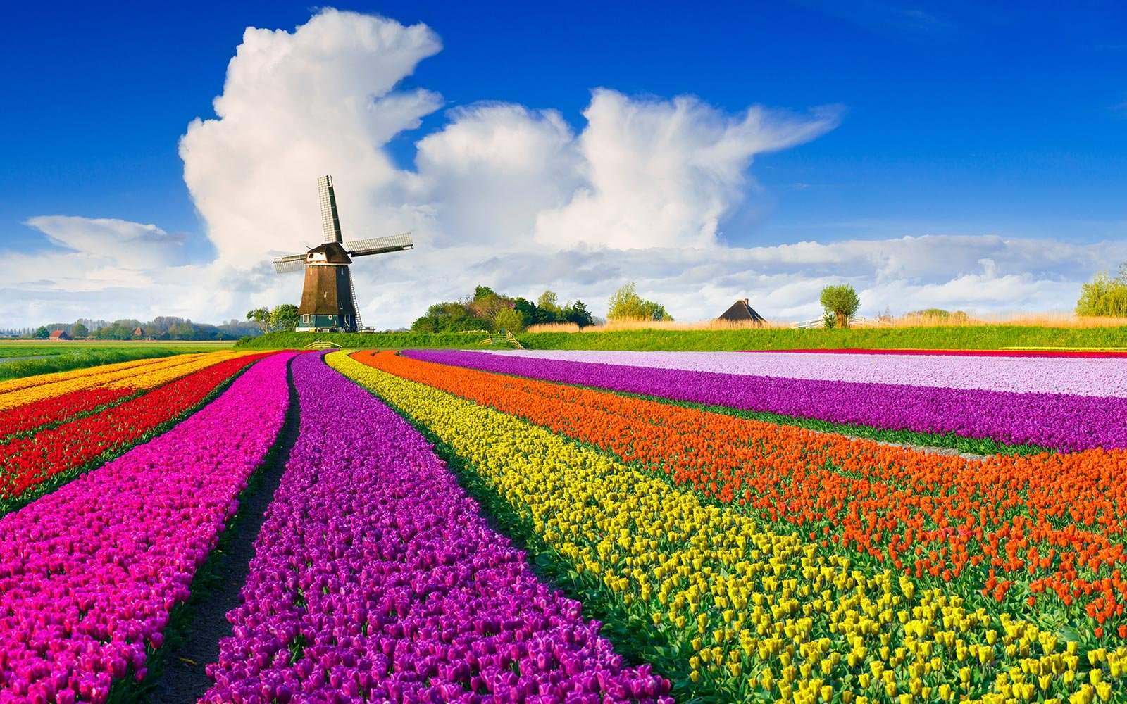 The Netherlands is famous for their tulips, but actually tulips originally didn't grow there. They were imported from the Ottoman.