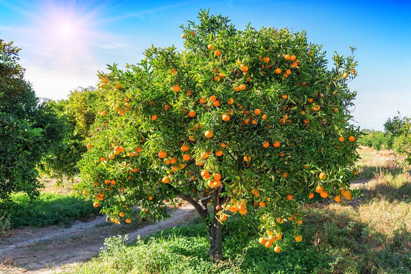 An orange tree can grow to reach 30 feet.