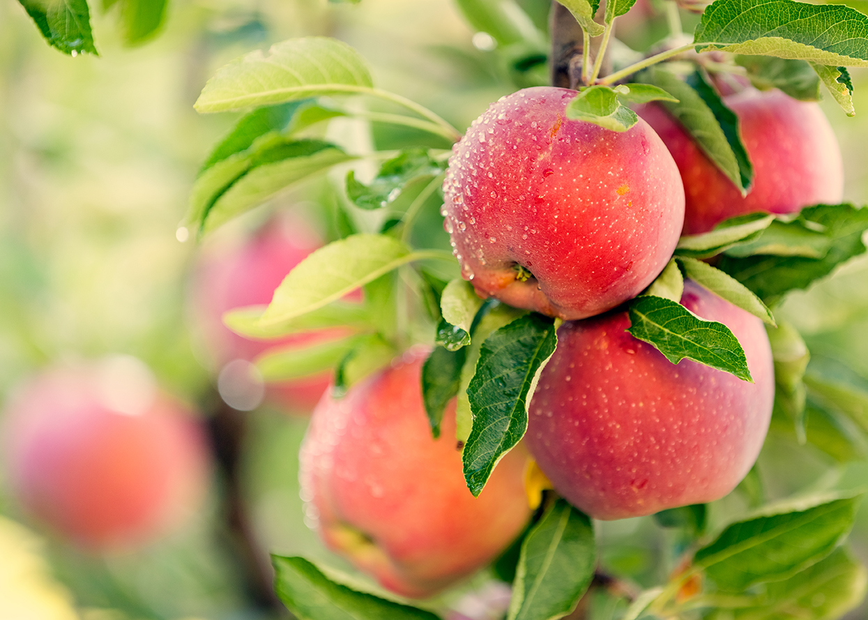 Apples are a member of the rose family of plants.