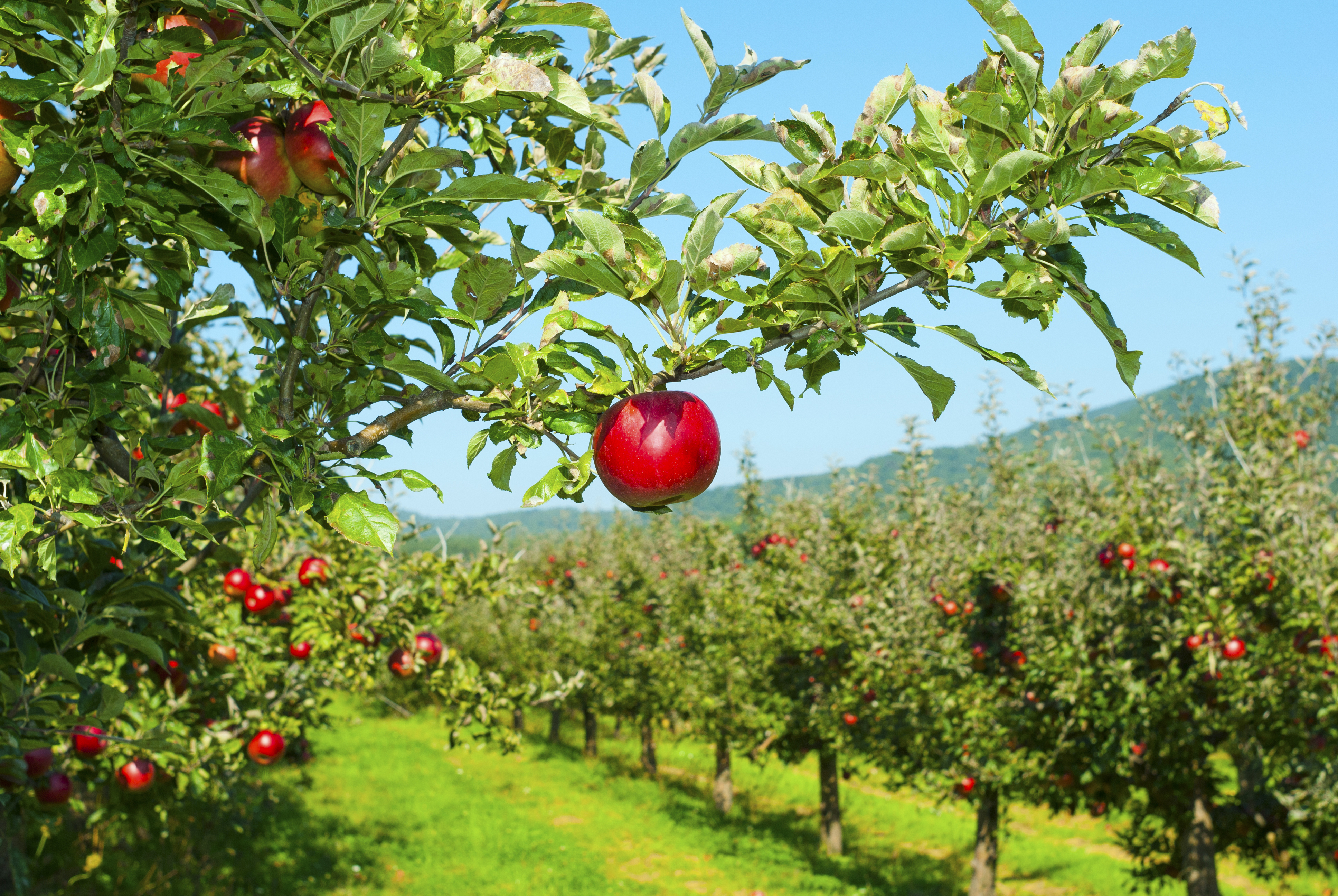 Apples are the second most-valuable fruit grown in the United States.