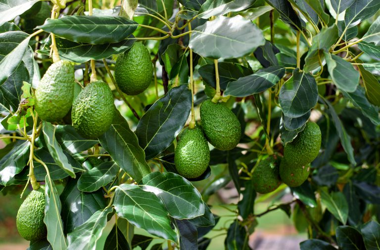 Avocado cultivation in Florida didn't start until 1833
