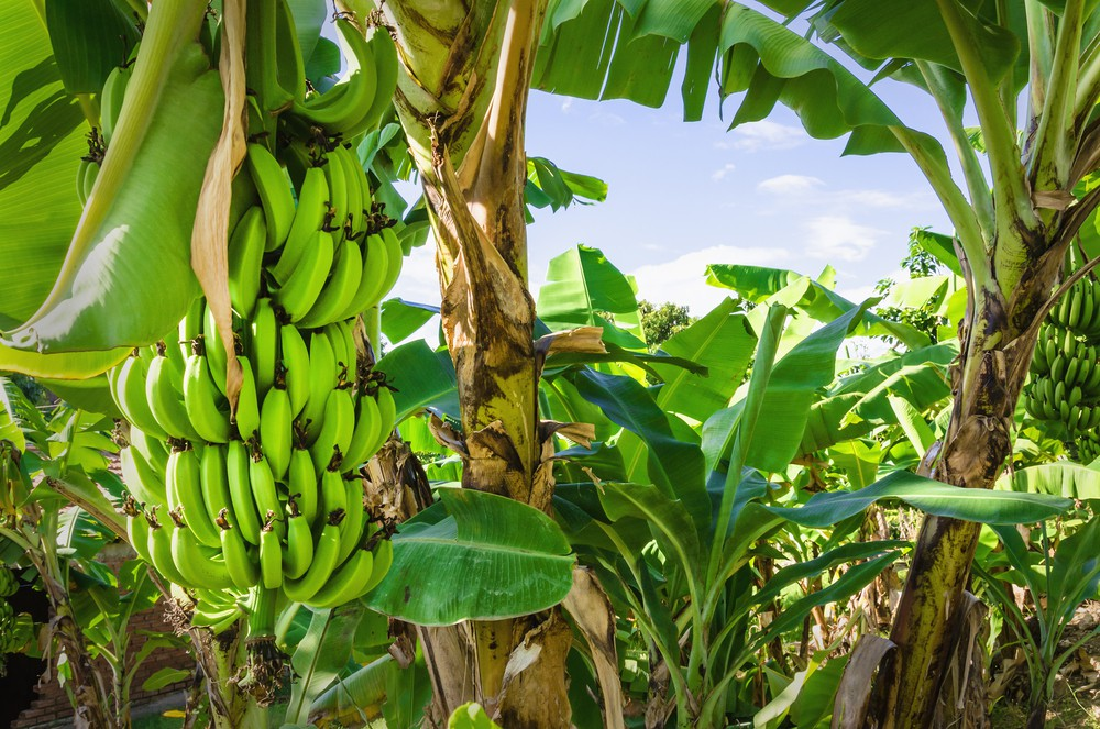 Bananas were probably the first cultivated fruit, and the first banana farms were located in southeast Asia.