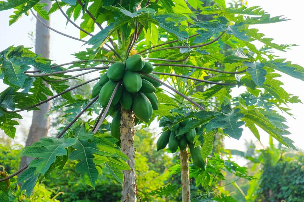 Every part of the papaya tree has latex