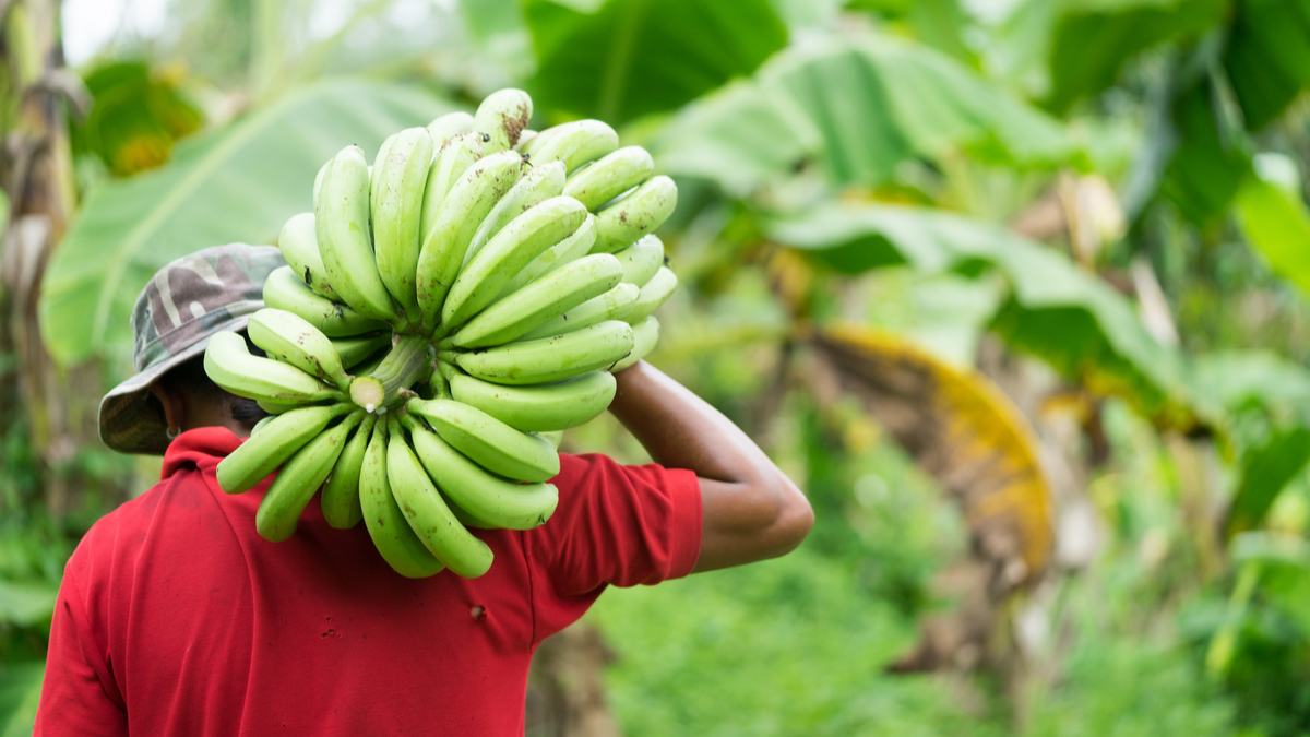 If bananas are too green, they can be put in a brown paper bag with an apple or tomato overnight to speed up the ripening process.