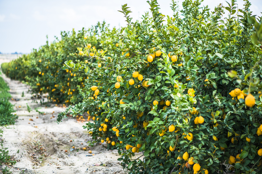 Lemons trees can produce up to 600lbs of lemons every year.