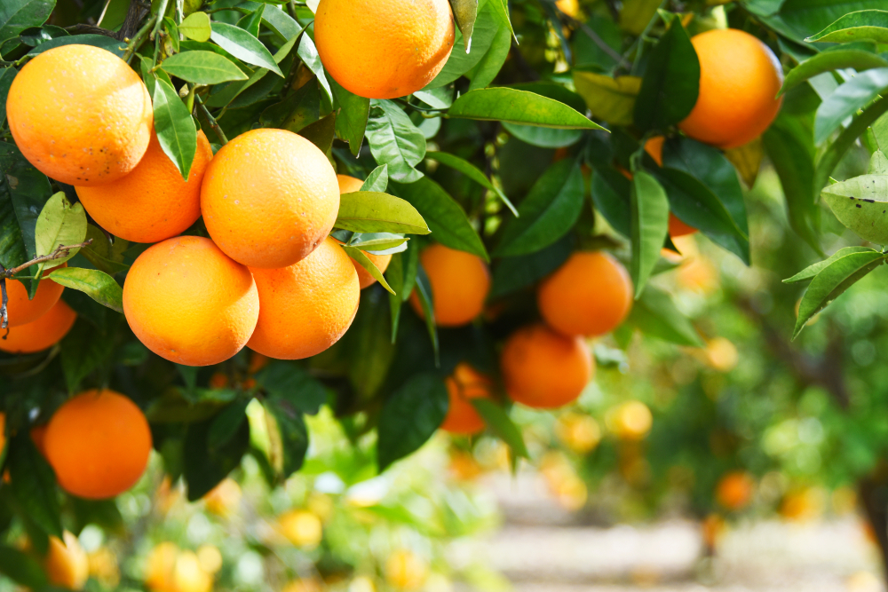 Orange was used as the name of the color in 1542.