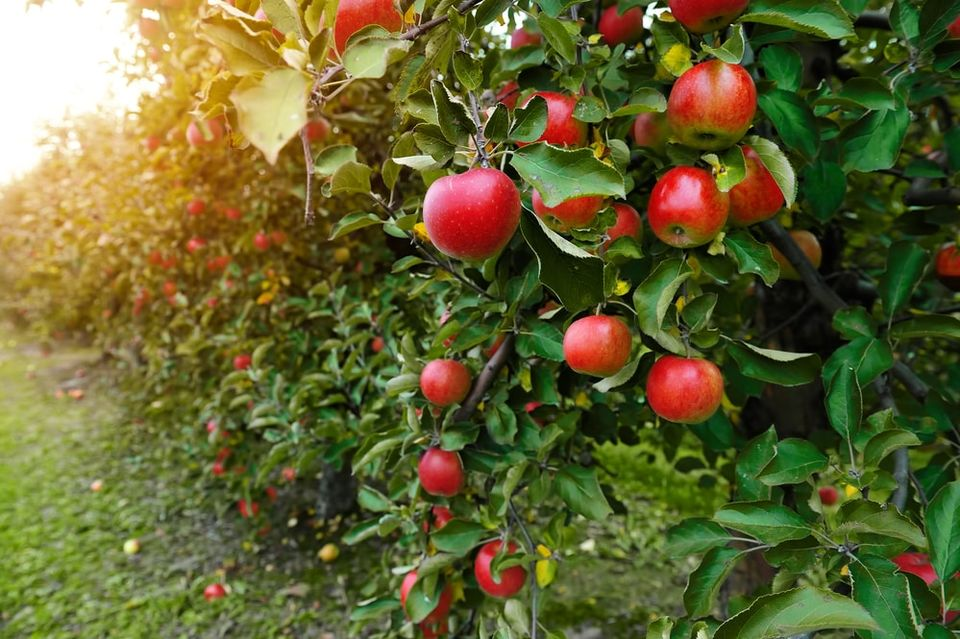 Pilgrims planted the first U.S. apple trees in the Massachusetts Bay Colony.