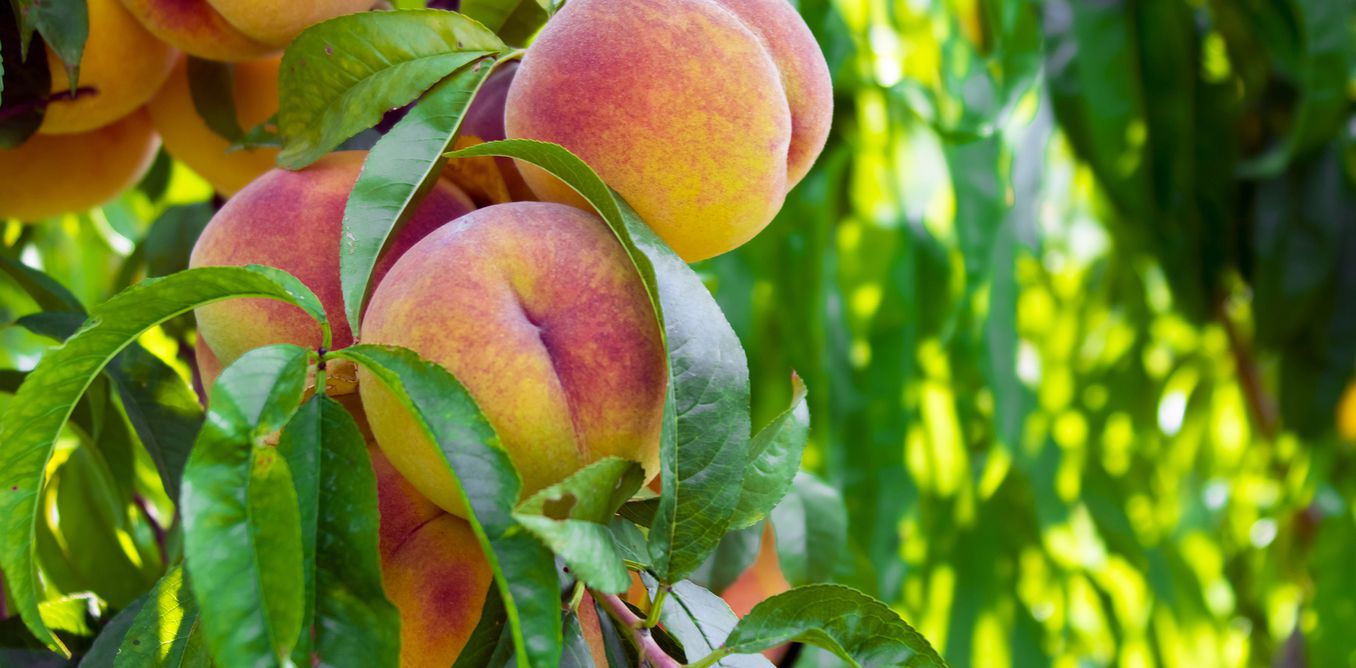 Scientifically the peach tree is know as prunuspersica.