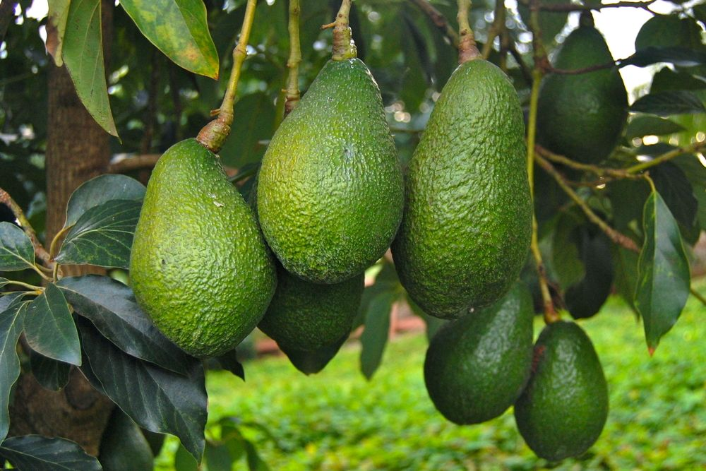 Spain is the only European country that produces avocados.