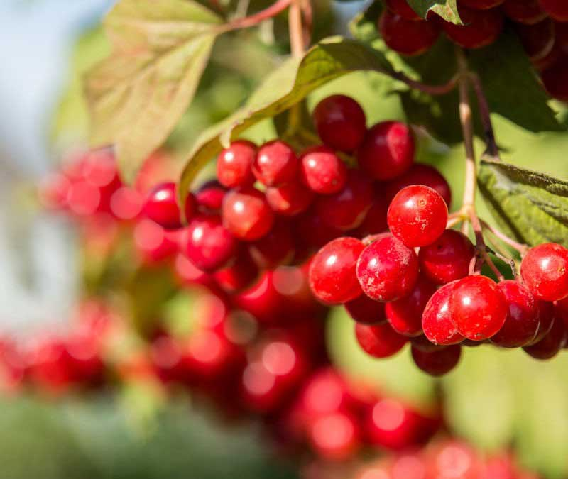 The 5 states known for growing cranberries are: Massachusetts, Wisconsin, New Jersey, Oregon, and Washington.
