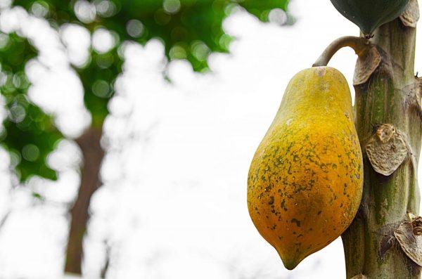 The Hawaiian papaya is smaller and has a pear shape