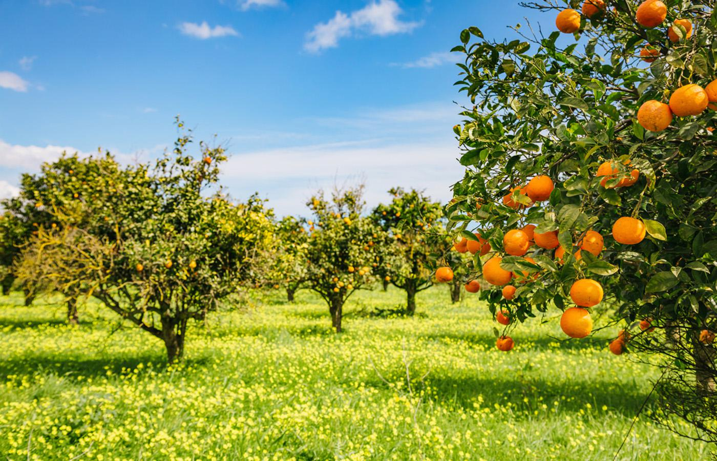 The Washington Navel Orange tree that helped start the California citrus industry is still standing and producing fruit.