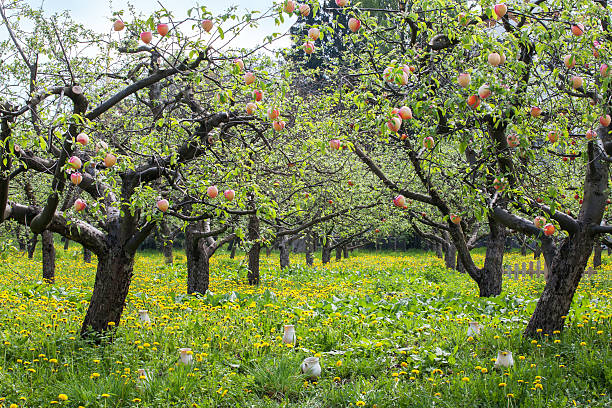 The average lifespan of a peach tree is about 12 years.
