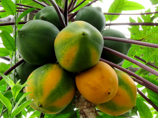 The papaya originated in the tropical regions of the Americas
