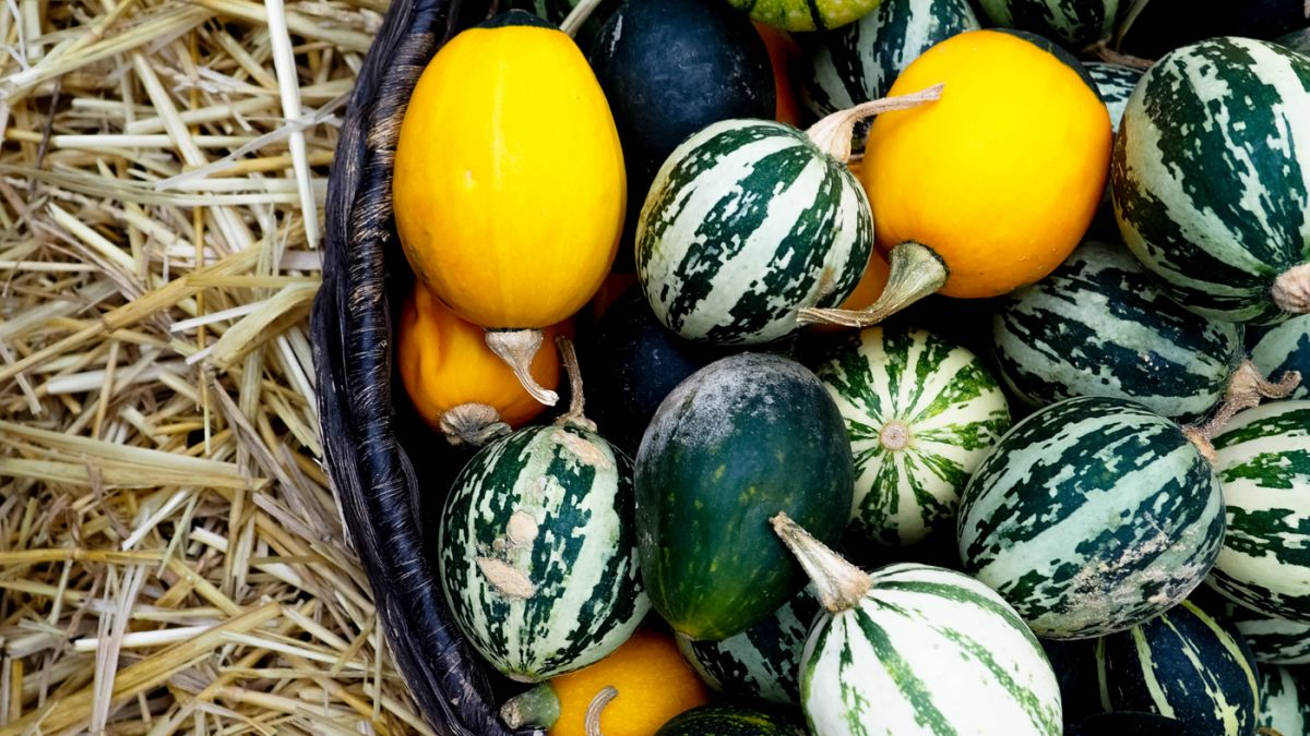 Watermelon is related to cucumbers, cantaloupes, pumpkins, and squash.
