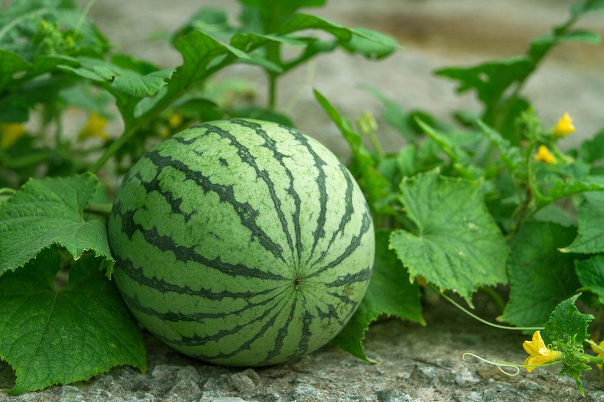 "Watermelon mosaic virus is a virus that ""draws"" circles on watermelons."