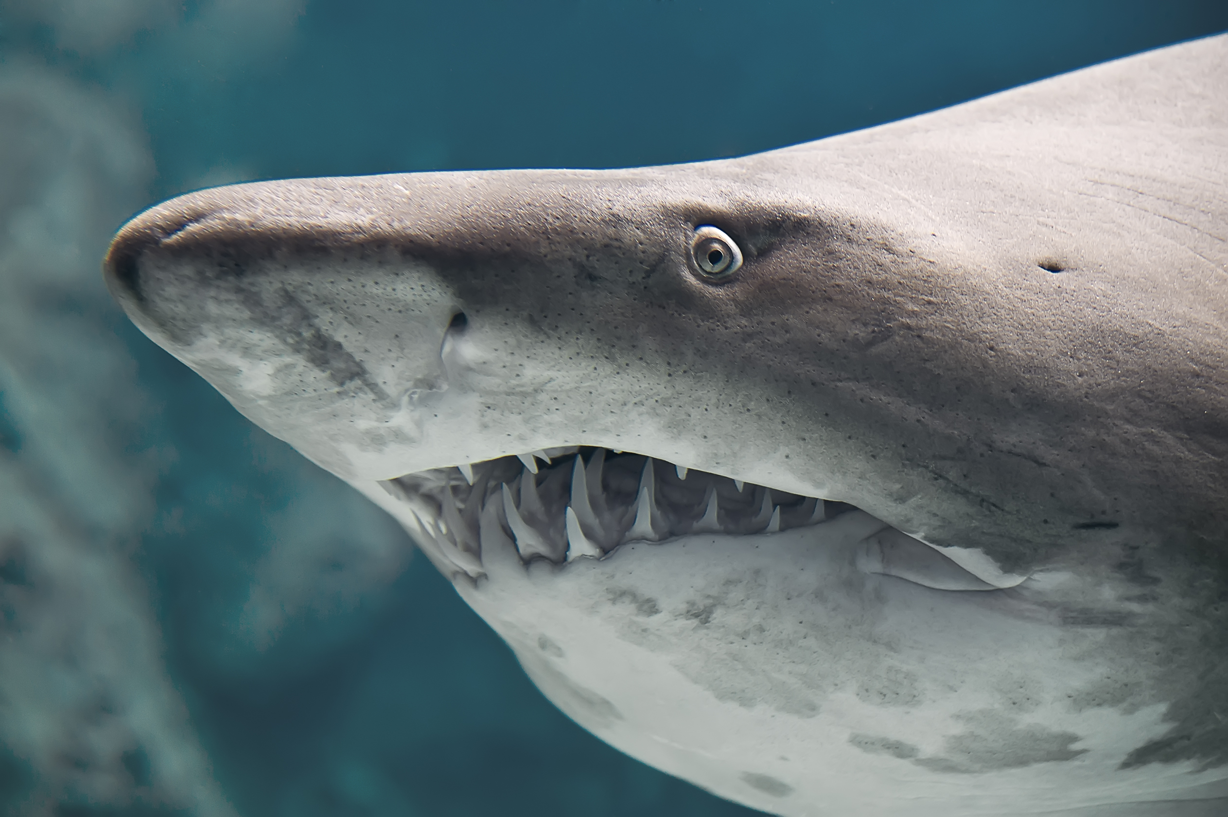 An average shark has 40-45 teeth in up to seven rows.