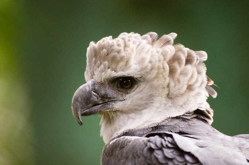 Harpy Eagle is the National Bird of Panama.