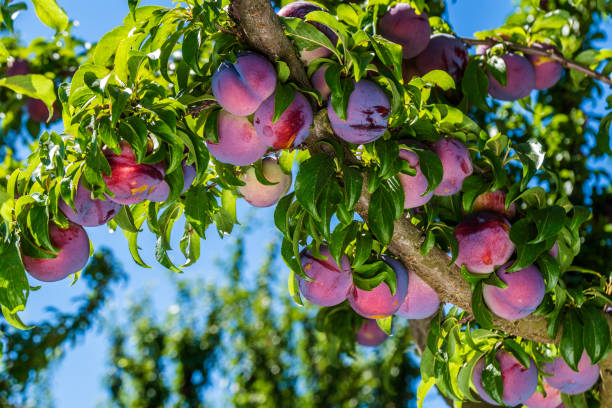 Plum trees are grown on every continent except Antarctica.
