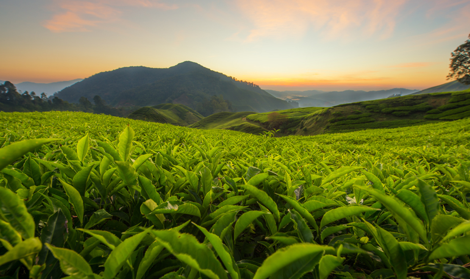South Carolina is the only state in the united state that has a major tea plantation.