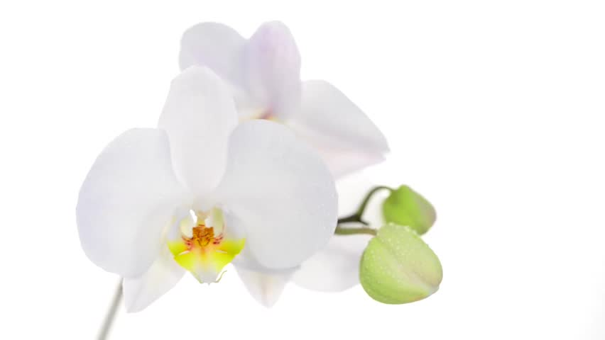 The national flower of Panama is a white orchid.