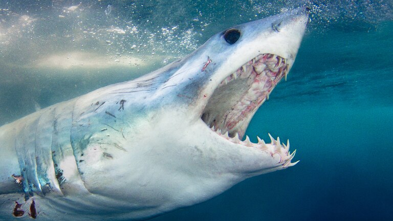 The surface of a shark's jaws have extra support which is known as 'tesserae'.