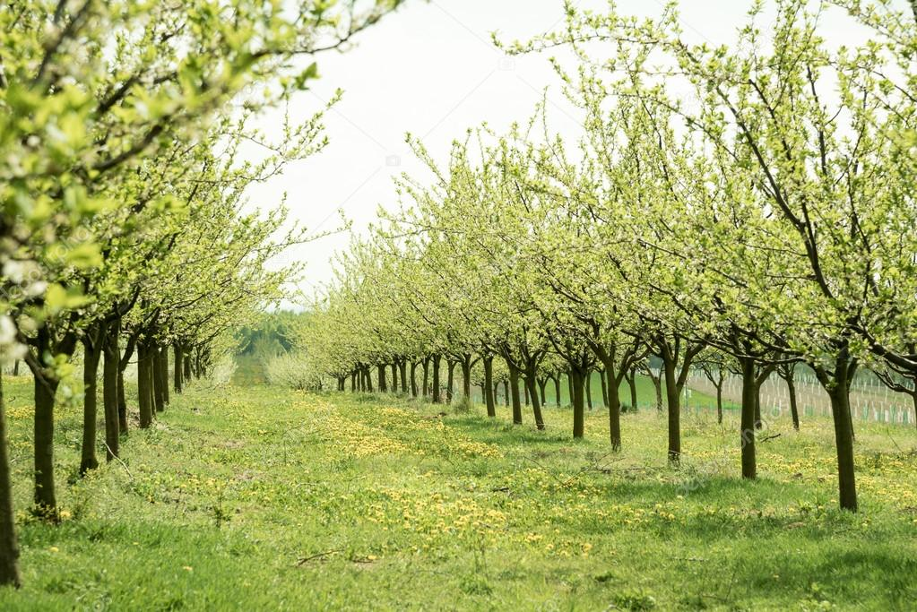 The tree of Plum generally grows 10 to 20 feet in height.