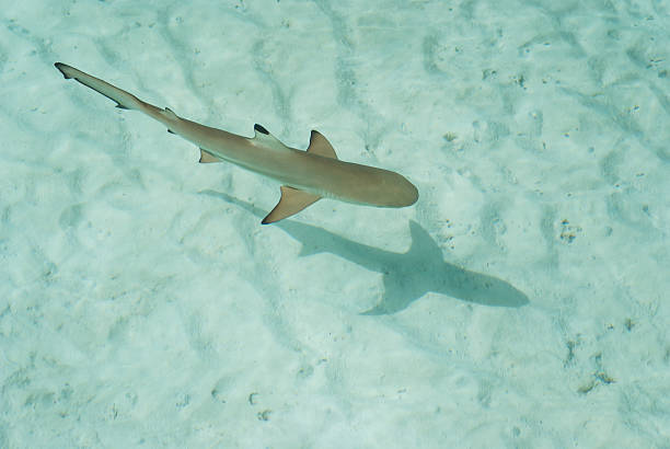 The youngest species of sharks are the hammerheads.